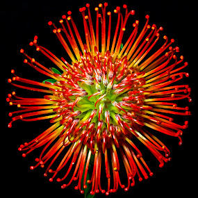 Flower Firework by Dbart ... - Flowers Single Flower ( macro, high-quality, delightful, color, astounding, vibrant,  )