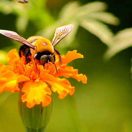 Big Bee by Thaddaeus Smith - Animals Insects & Spiders ( bee, big )