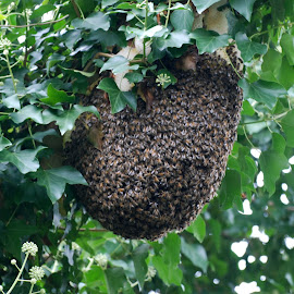 Prime Swarm by John Swain - Nature Up Close Hives & Nests