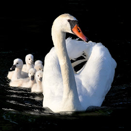 Family Outing by Betty Arnold - Animals Birds ( swans, animals, mute swan, cygnets, birds,  )