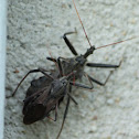 Wheel bug Assassin Beetle