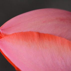 Blush by Carolyn Holland - Flowers Single Flower