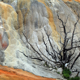 Burned Out by Melissa Brookmire - Nature Up Close Trees & Bushes ( yellowstone national park, wyoming, trees, usa, mammoth hot springs )