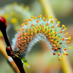flower red willow by Anže Papler - Flowers Flower Buds