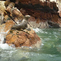 South American Sea Lion (female)
