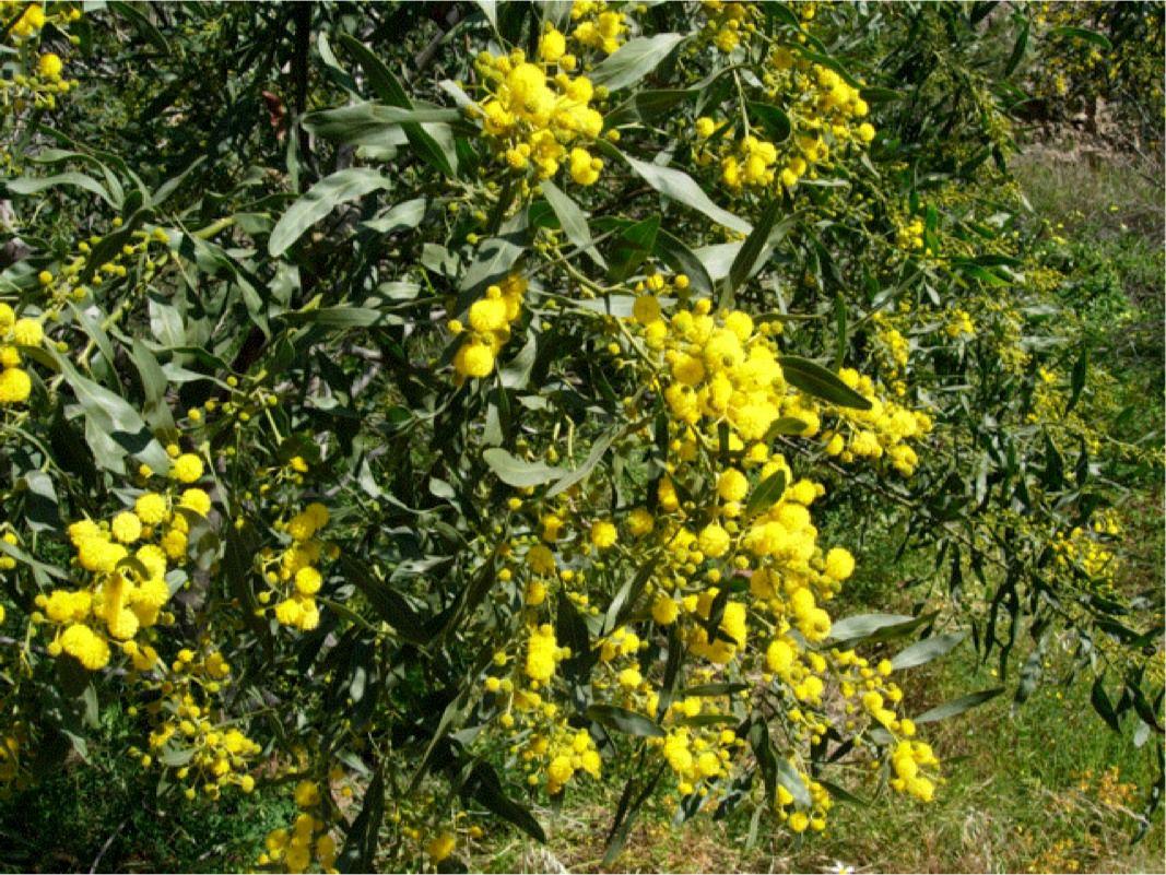 Acacia cyanophylla Lindl.