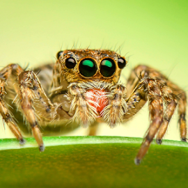 I'm going to jump on the next leaf! by Dave Lerio - Animals Insects & Spiders ( salticidae, jumping spider, brown, habronittus,  )