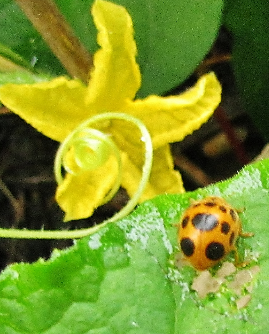Ladybird Squash eating bug