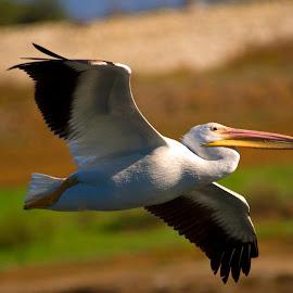 Soaring by Alex Travison - Animals Birds