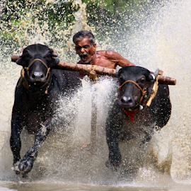 cattle race by Ramesh Kallampilly - News & Events Sports ( adventure, sports, bullrace, kerala, cattlerace )