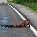 White-nosed Coatis
