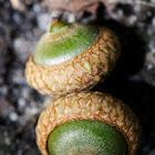 Acorn (oak)