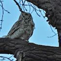 Great Horned Owl (Male)