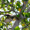 Grey King Bird
