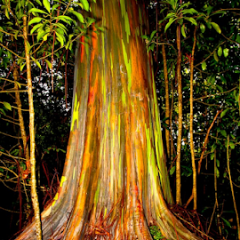 rainbow eucalyptus tree by Tom LeClair - Nature Up Close Trees & Bushes ( rainbow eucalyptus tree maui hi images by tlp imagesbytlp )