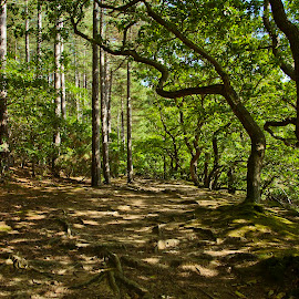 Woodland Walk. by Ade Taylor - Landscapes Forests ( trunk, geen, leafs, tree, shadow, green, roots, moss, shade, pine, light )