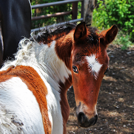 Pebbles by Stacey Cannon - Animals Horses ( farm, ranch, horses, colt, horse, agriculture, paint, baby, cute, young,  )