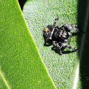Jumping Spider (Bold Jumper)