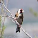 Goldfinch; Jilguero
