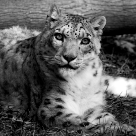 Snow Leopard in Black and White by Julie Berglund - Animals Lions, Tigers & Big Cats ( black and white cat, big cat, big cats, black and white, snow leopard, leopard,  )