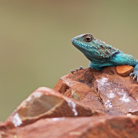 Sungazer by Dirk Luus - Animals Reptiles ( reptiles, lizard, nature, green, animal )