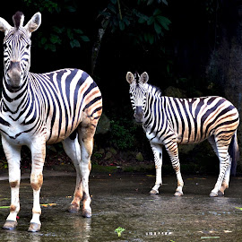 TWO ZEBRA by Edu Yoga - Novices Only Wildlife