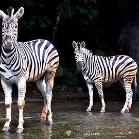 TWO ZEBRA by Edu Yoga - Novices Only Wildlife (  )