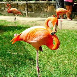 Flamingo en Bahamas by Alfonso de las Cuevas - Animals Birds