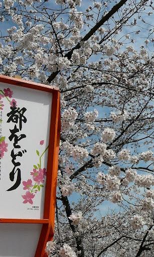 京都八坂円山公園桜写真集2011年春