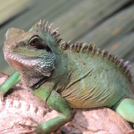 Scaley by Amber Earnest - Animals Reptiles ( scale, scaley, green, iguana, reptile,  )