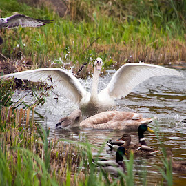 sudden swan commotion by JERry RYan - Animals Other
