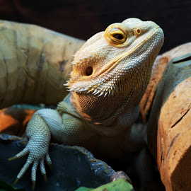 Bearded Dragon - Lenin by Gareth Dickin - Animals Reptiles ( dragon, lizrd, brown, arm, proud, yellow, reptile, head, bearded dragon, eye, regal )