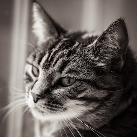 View from the Window by Troy Snider - Animals - Cats Portraits ( cat, soft light, diffuse light, expressive, cute, kitty, animal,  )