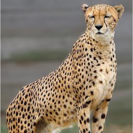 Cheetah by Dennis Ba - Animals Lions, Tigers & Big Cats