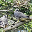 Peregrine Falcon - Fledglings