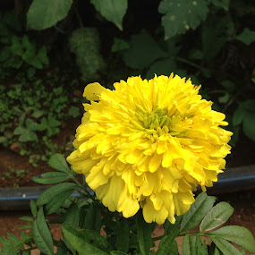 Look at my Beauty by Swapnanil Dhol - Flowers Single Flower ( sharp, nature, colors, beautiful, india, yellowflowers )