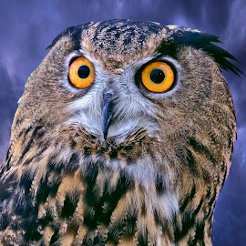 Eurasian Eagle Owl by Sandy Scott - Animals Birds ( birds of prey, eurasian eagle owl, owl, birds, eagle owl, raptors,  )