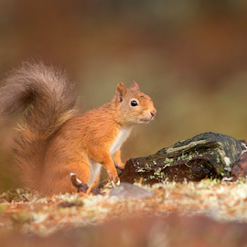 Red Squirrel by Lynda Snowling - Animals Other Mammals (  )