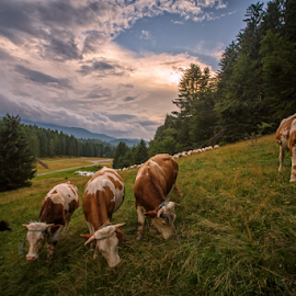 Happy cows by Stanislav Horacek - Landscapes Prairies, Meadows & Fields