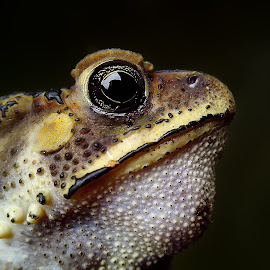 handsome toad by Hendrata Yoga Surya - Instagram & Mobile Android ( common asian toad, toad, kodok )