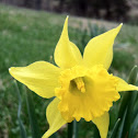 Easter flowers aka Easter lilies