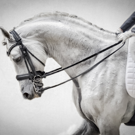Velázquez!!! by Erik Kunddahl - Sports & Fitness Other Sports ( equine, equipage, dressage, equstrian, riding, nikon d3s )