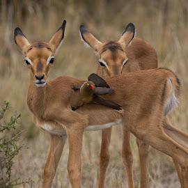 Dependants by Ailsa Burns - Animals Other Mammals ( bird, babies, buck, baby animals, animal, deer )