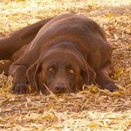 Chocolate Lab in leaves by Connie Brown - Animals - Dogs Portraits ( dogs, chocolate labrador, labrador, lab, chocolate lab,  )