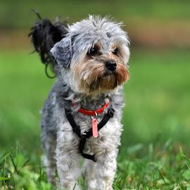 Dog by Popa Marius - Animals - Dogs Portraits ( dog portrait )