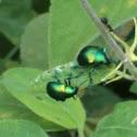 besouro folha