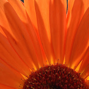 A Daisy At Sunrise by Ed Hanson - Flowers Single Flower ( orange, macro, nature, daisy, flower )