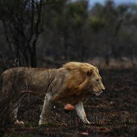 lion by Marissa van Heerden - Animals Lions, Tigers & Big Cats