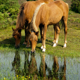New Forest Ponies by Graham White - Animals Horses ( southern england, pony, ponies, new forest ponies, new forest, hampshire )