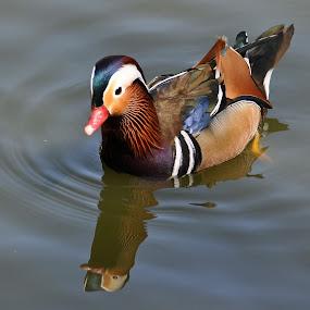 Mandarin Duck by Dawn Hoehn Hagler - Animals Birds ( bird, wildlife world zoo, water fowl, mandarin duck, duck,  )